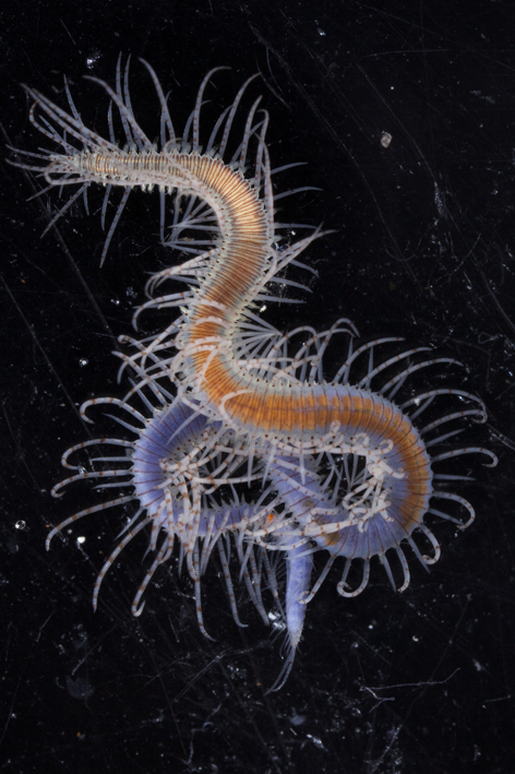 Syllidae is the most specious family of polychaetes and they show an extremely diverse reproductive strategies
