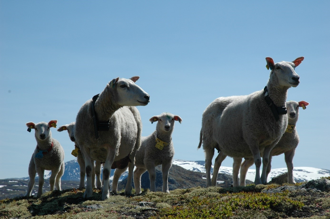 Domestic sheep grazing in alpine tundra of Norway.