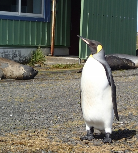 King penguins and elephans seals by the entrance to the laboratory.