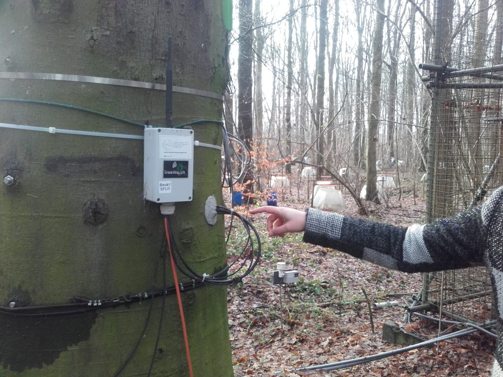 This beech is equipt with a measurement device which registers the flow of the sap underneath the bark of the tree. The measurements are done every 15 minutes and is sent directly and wireless to the internet, day after day, year after year. With this, researcher kan say something about drough stress and how the forest is responding to climate change.