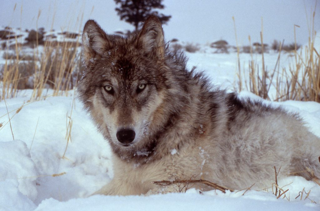 The case of wolves in Yellowstone National Park has been a poster child for rewilding