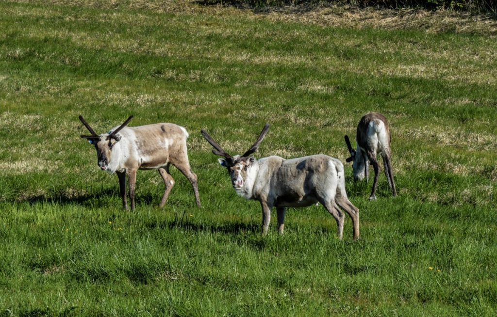 The free-grazing nature of Norwegian farming makes the reintroduction of carnivores unpopular with rural communities