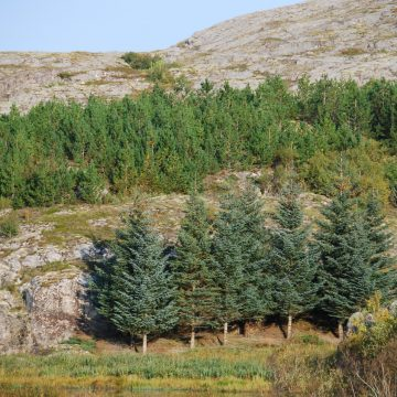 The Sitka Spruce was introduced by the timber industry, and now covers almost 5 million hectares