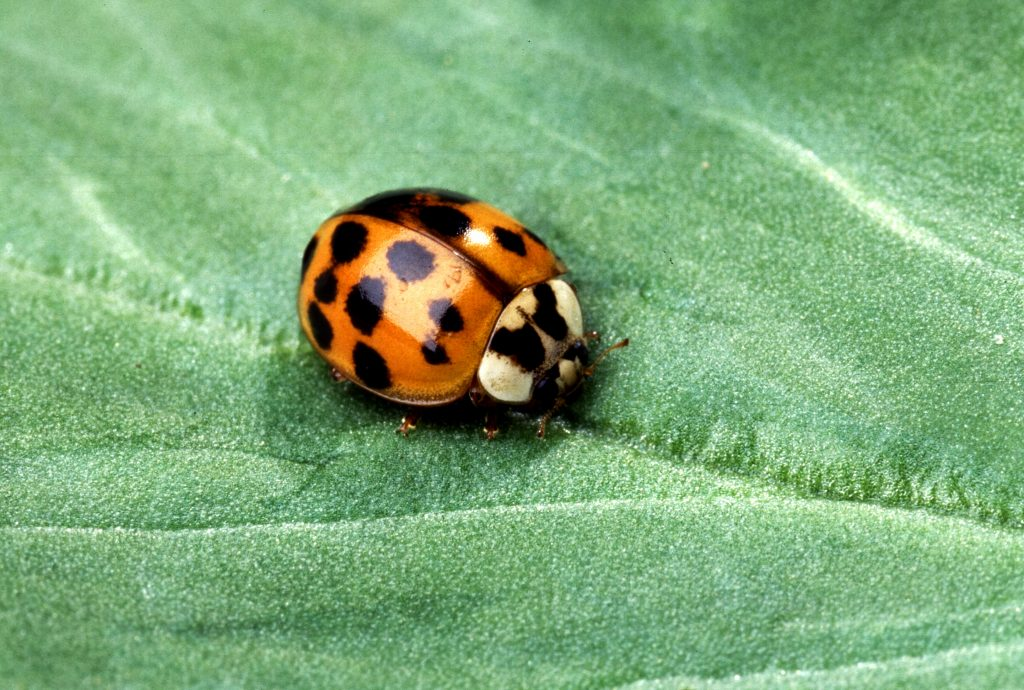 The Asian Ladybeetle, which has now established itself in Norway and will likely be a permanent fixture in our ecosystem