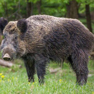 Invasive wild boar in the US cause huge economic losses through crop damage