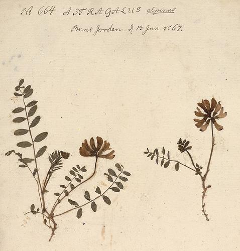 Nordlig setermjelt (Astragalus alpinus ssp. arcticus), samlet i Tromsø i 1767, og liggende i herbariet ved NTNU