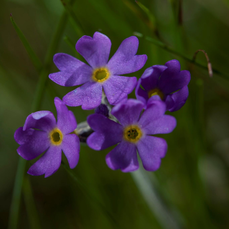 Primula scandinavica (Scandinavian primrose). Herbivores were important determinants of the distribution of this species.