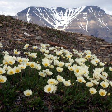 På Svalbard er det generelt mye kalk og høy pH i bakken. Her vokser reinrose overalt og kan ikke sies å være indikator for spesielt artsrike plantesamfunn.