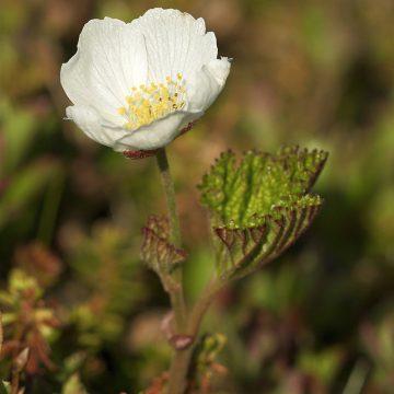 Multe er en særbu plante i rosefamilien. Siden kun hunnplantene produserer frukt er det er fint triks å kunne se om en plante er hunnlig er hannlig slik at man kan bestemme muligheten for bær. Denne blomsten har tydelige gule pollenknapper – det er en hann. Foto: Jason Hollinger CC BY 2.0.