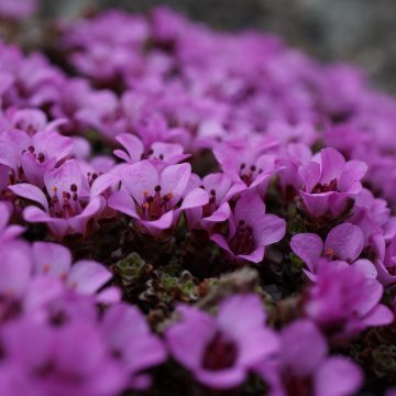 Øverst: Rødsildre (Saxifraga oppositifolia) kan vokse som tette tuer og blomster gjerne veldig rikt tidlig om våren. Denne formen av arten er alltid diploid, dvs. med to sett kromosomer. Nedersts: Den krypende formen av rødsildre vokser på litt mer beskyttede steder ned mot snøleiene og karakteriseres ved rasker vekst, mer vegetativ spredning og mindre blomstring. Denne formed av arten kan være enten diploid eller tetraploid (med fire sett kromosomer). Foto: Anders L. Kolstad NTNU Vitenskapsmuseet CC BY-SA 4.0.