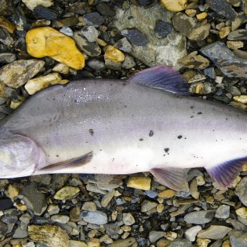 Male pink salmon develop a distinct humpback, earning them the nickname 'humpies'