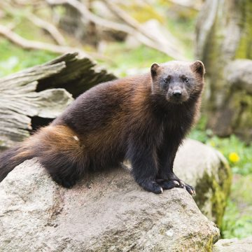 The Wolverine, one of many species that has made its way back into Scandinavia recently