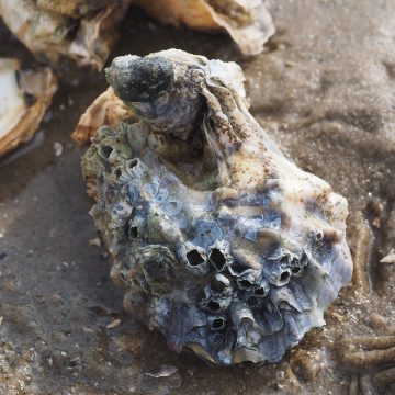 The Pacific oyster could make its way further north as the Arctic and sub-Arctic regions warm