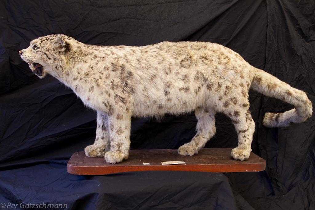 Snøleopard