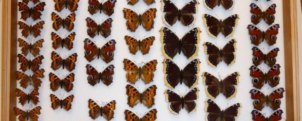 """Carl Fredrik Lühr (1901-1991) er et eksempel på at private samlere kan tilføre viktige bidrag til universitetsmuseenes vitenskapelige samlinger. Lühr var utdannet maskiningeniør fra NTH. Han arbeidet i rutebilbransjen, først <a href=""""https://blogg.vm.ntnu.no/sansogsamling/2011/01/28/luhr-%e2%80%93-en-dedikert-sommerfuglsamler/#more-'"""" class=""""more-link"""">more »</a>"""